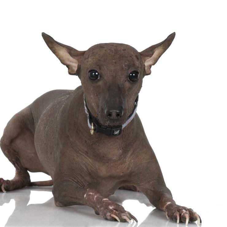 Perro sin pelo del Perù cucciolo