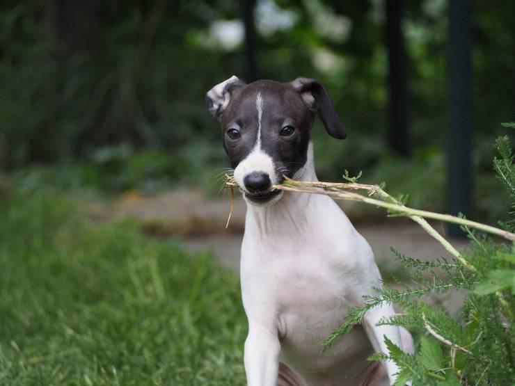 Piccolo levriero italiano cucciolo