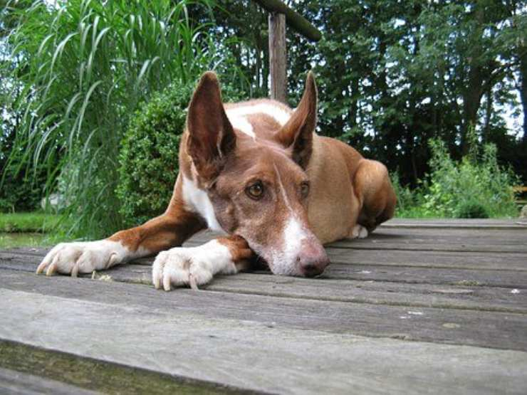 Podenco canario adulto