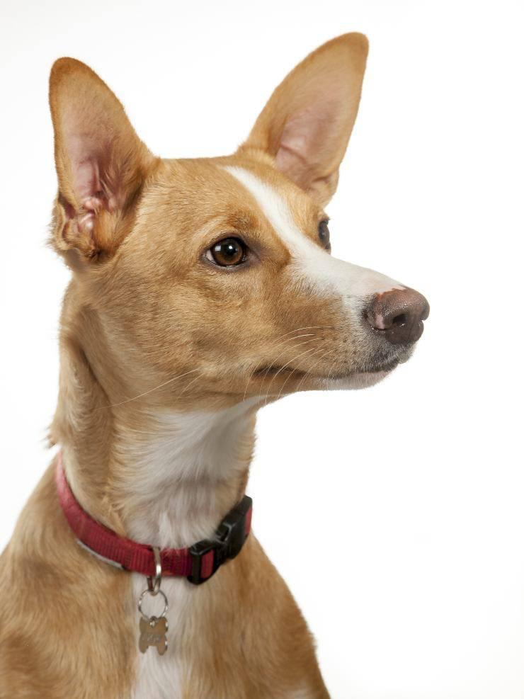 Podenco canario cucciolo