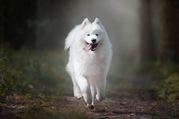 samoiedo cane