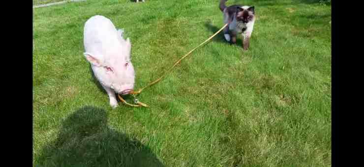 Il maialino che porta al guinzaglio il suo amico gatto (screenshot YouTube)