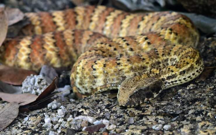 serpente in tanatosi