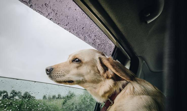 Cane che guarda fuori dal finestrino