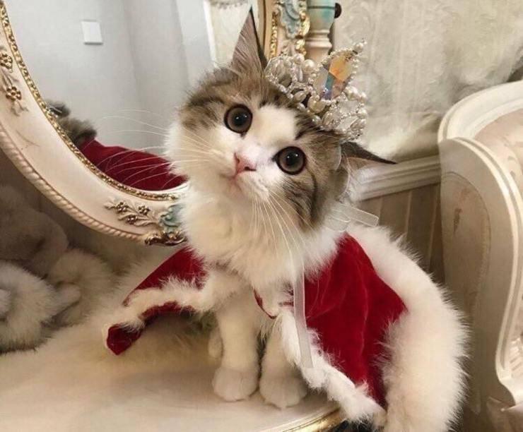 gatto re regina nobile