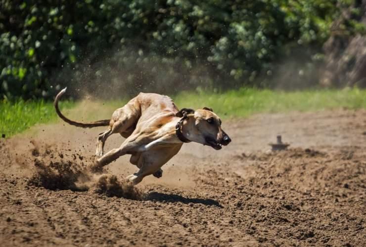 cane corre iperattivo