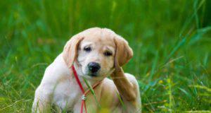 cane labrador si gratta