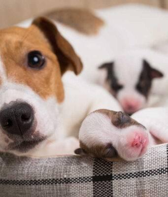 eclampsia nel cane