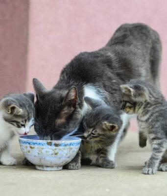 FeLV o leucemia felina nel gatto