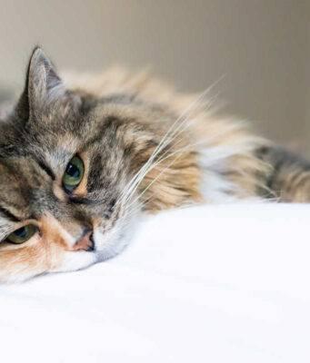 Pleurite nel gatto