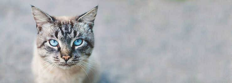 Ectropion nel gatto