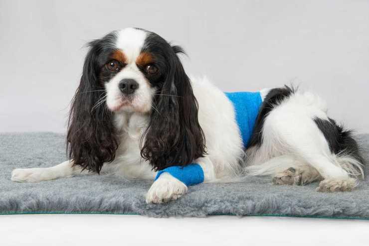 Metodi contraccettivi per i cani (Foto Adobe Stock)