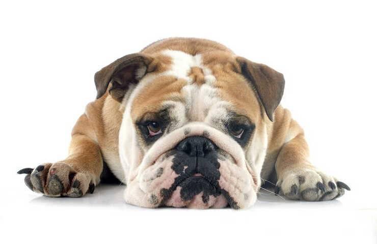 Ectropion nel cane