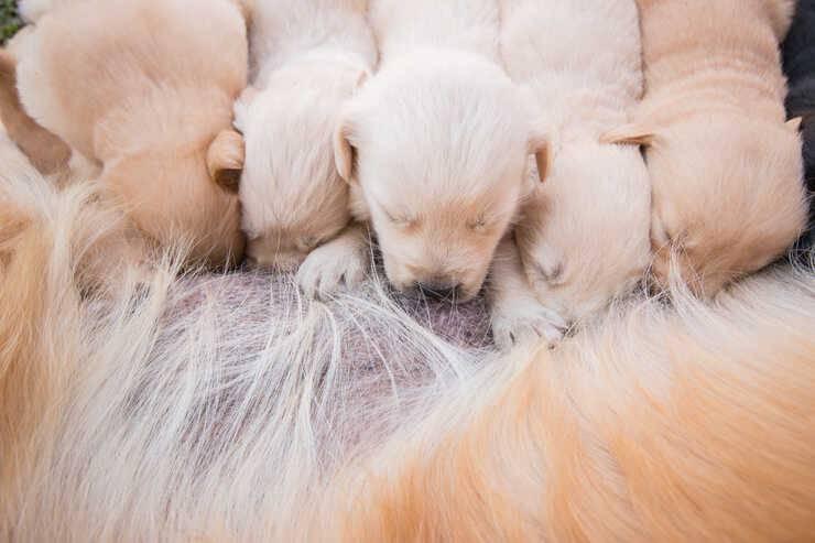 cane allattamento