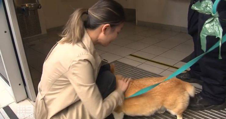 affidano cane corgi