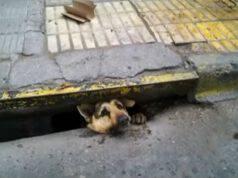 cane incastrato condotto fognario