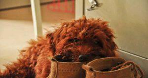 cane con scarpe