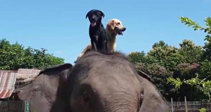 elefante schiena cani