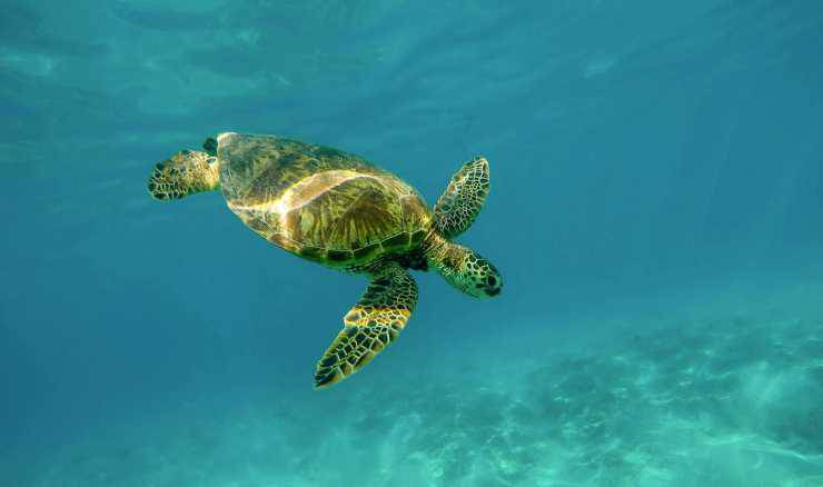 Tartaruga marina (Foto Pixabay)