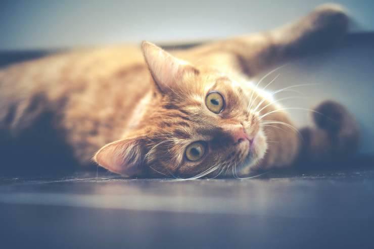 Il gatto bisognoso di coccole (Foto Pixabay)