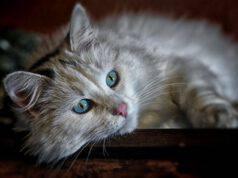 Pelo opaco nel gatto