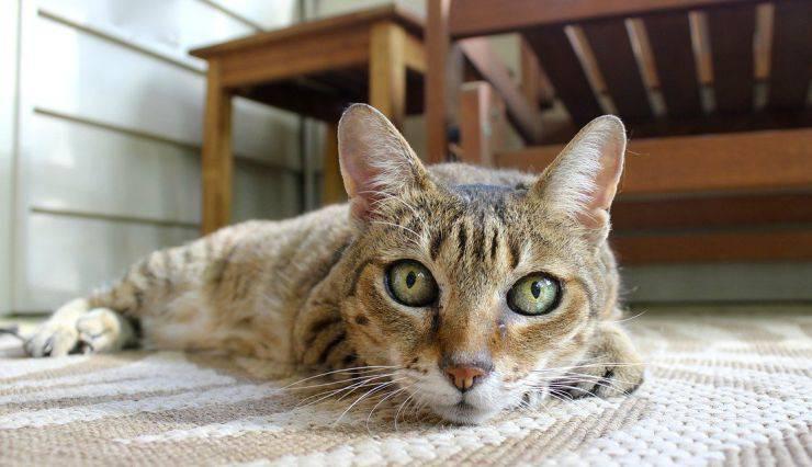 Gatto domestico (Foto Pixabay)