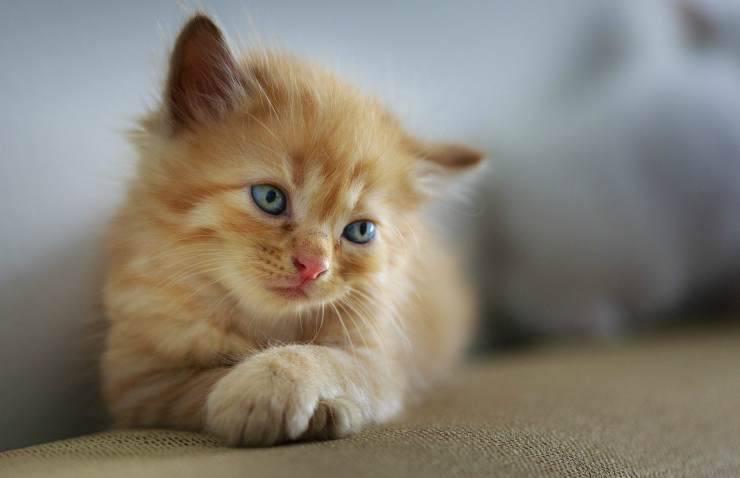 Un dolce gattino (foto Pixabay)