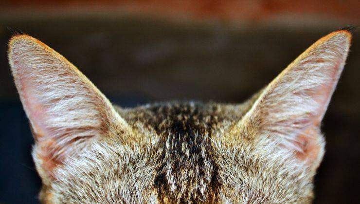 gatto orecchie udito