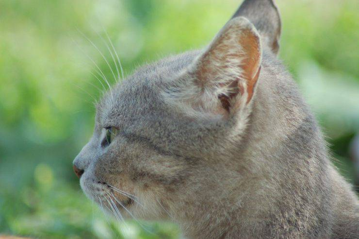 I baffi del gatto ricrescono