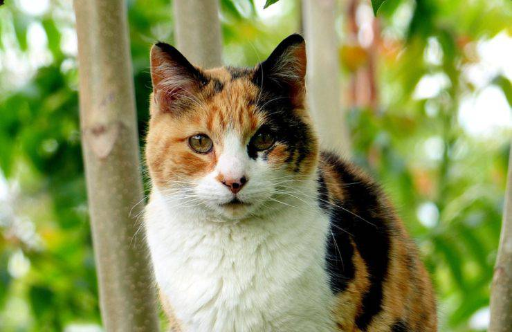 gatto calico tricolore