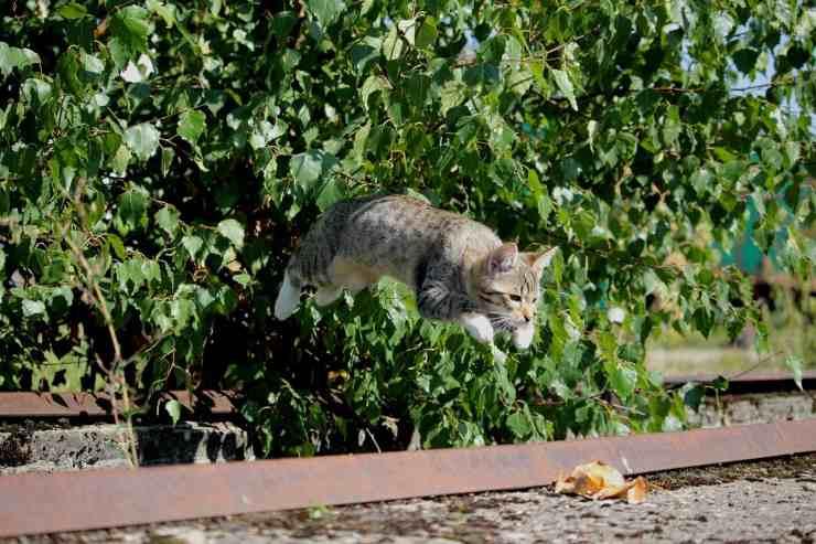 Salto del gatto