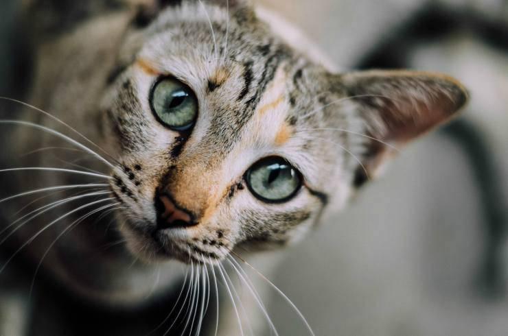 Micio in primo piano (Foto Pixabay)