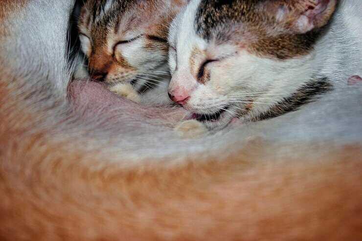 allattamento gattini