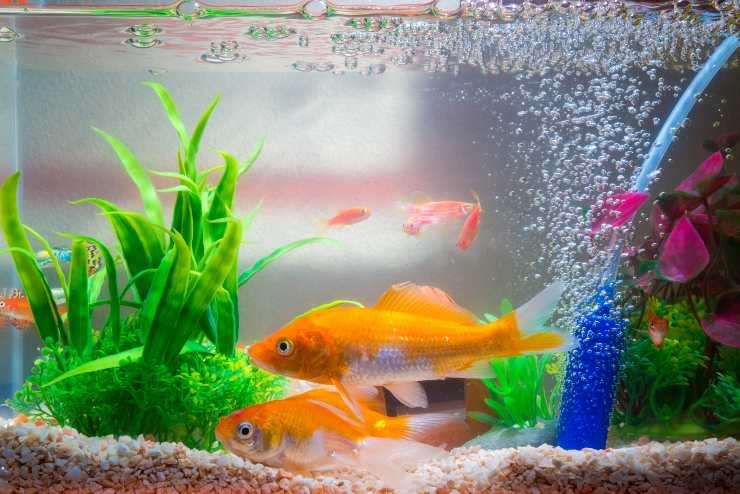 come allestire l acquario per i pesci rossi