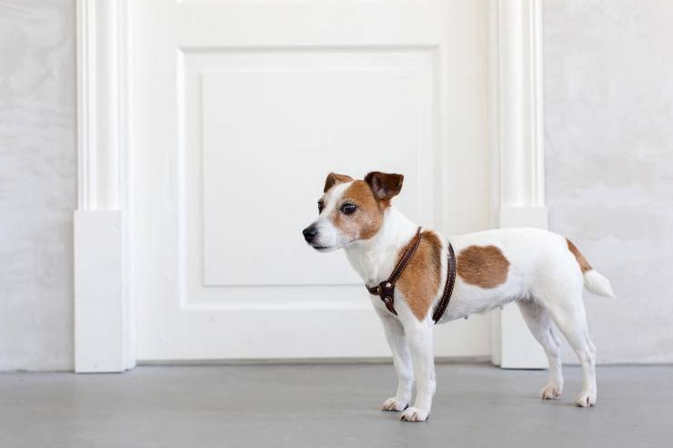 Come insegnare al cane ad aprire una porta