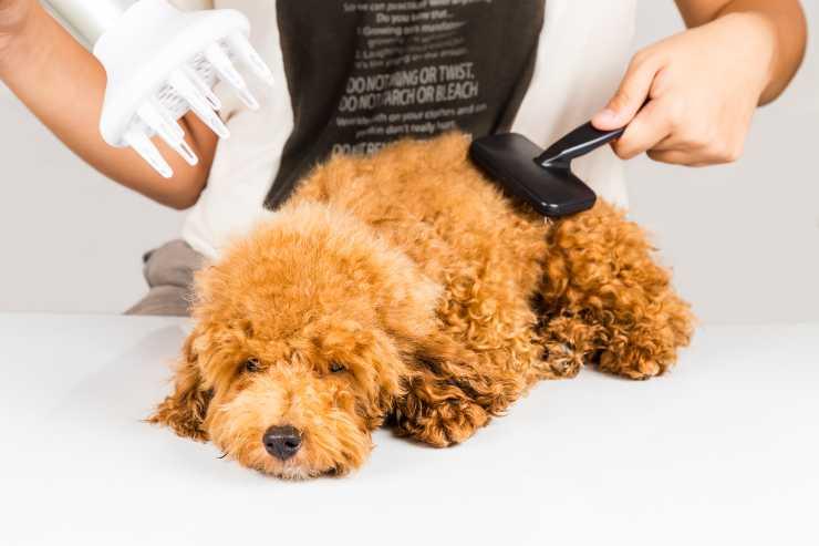 come spazzolare il cane dal pelo riccio