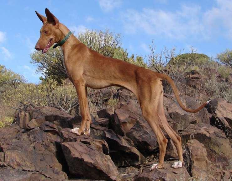 Podenco canario razze di cani spagnole