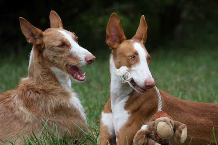 Podenco ibicenco razze di cani spagnole