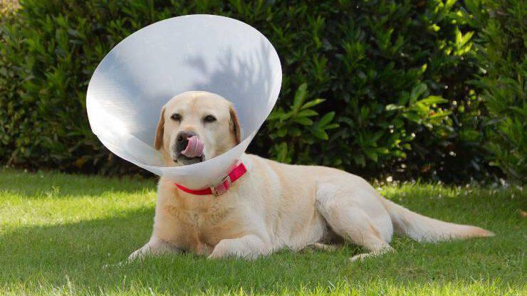 cane con collare