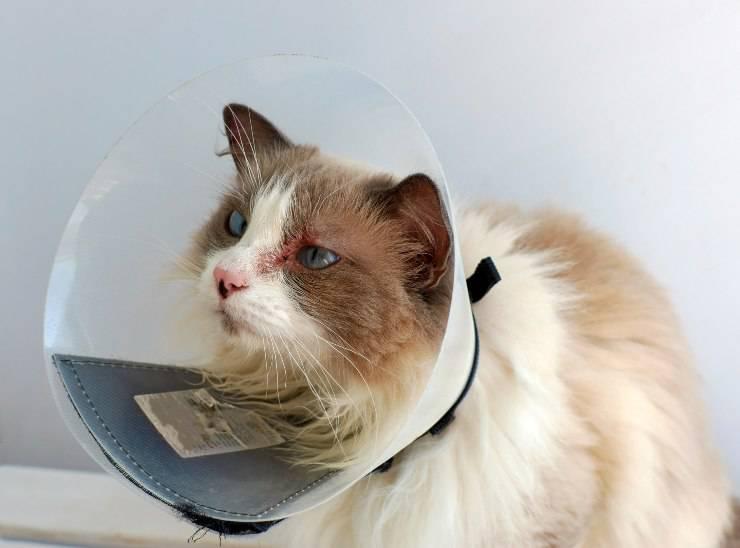dermatofitosi nel gatto