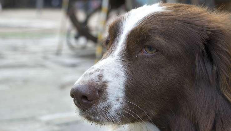 Il cane sofferente (Foto Pixabay)