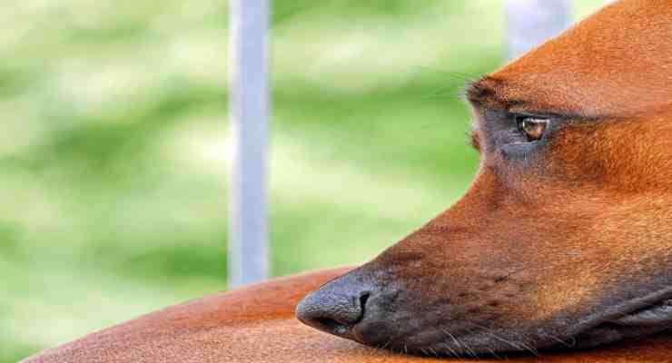 Cane rubato dal giardino: carabinieri rintracciano i ladri e recuperano il cane (foto Pixabay)