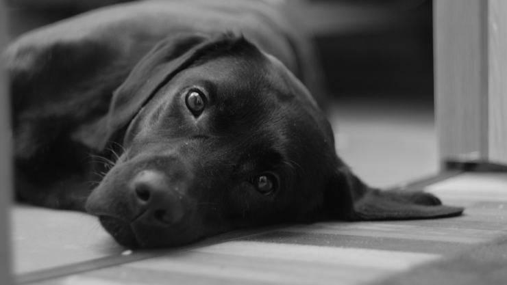 labrador triste (Foto Pixabay)