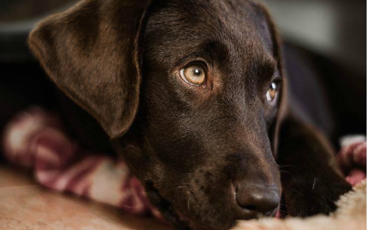 Il cane con il senso di colpa (Foto Pixabay)