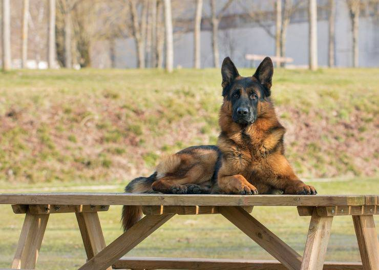 cane seduto sul tavolo
