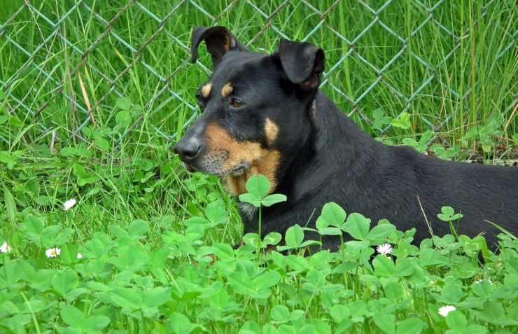 Alimentazione per il cane malato di fegato