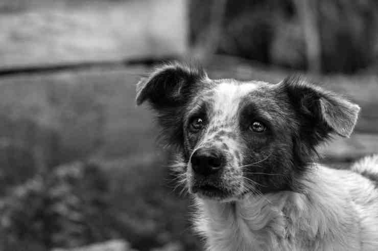 """Operazione """"Spank"""", carabinieri Forestali sventano traffico di cuccioli di cane (foto Pixabay)"""