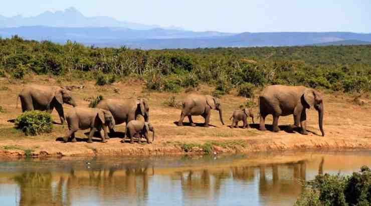 Elefanti del Botswana rischiano l'estinzione: le cause - (foto Pixabay)
