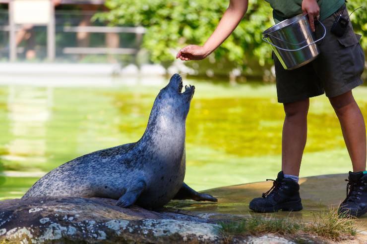 Cosa mangia la foca