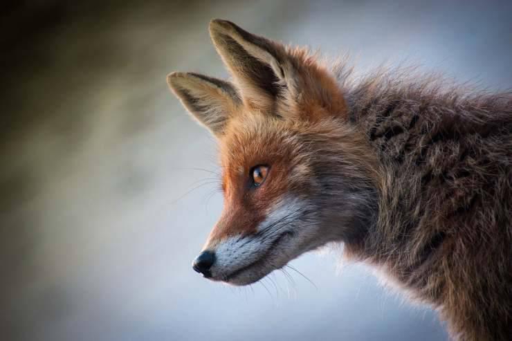 Lo sguardo della volpe (Foto Pixabay)